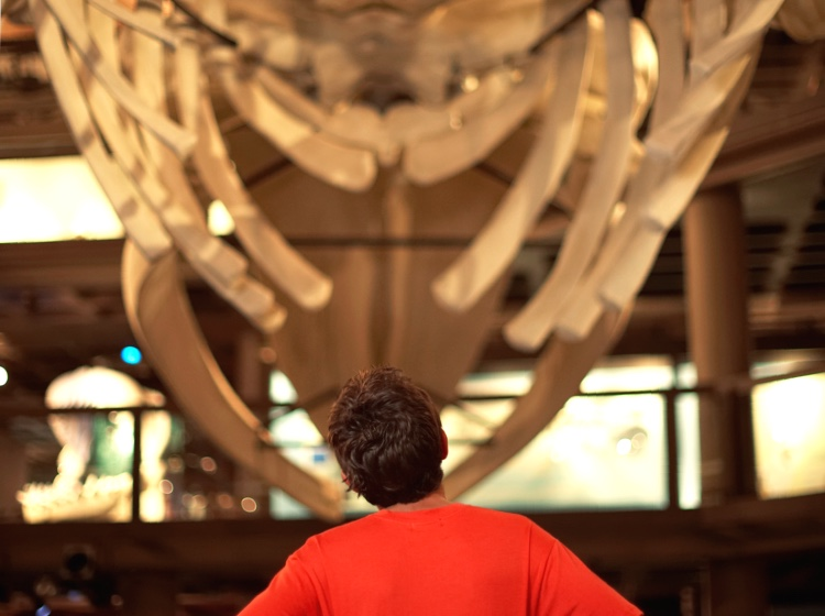 Man looking at whale skeleton at museum